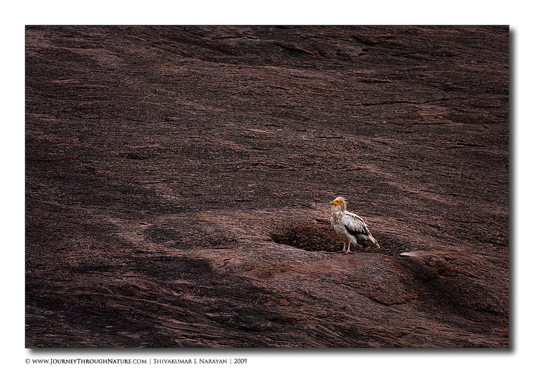 Ramanagara Egyptian Vulture