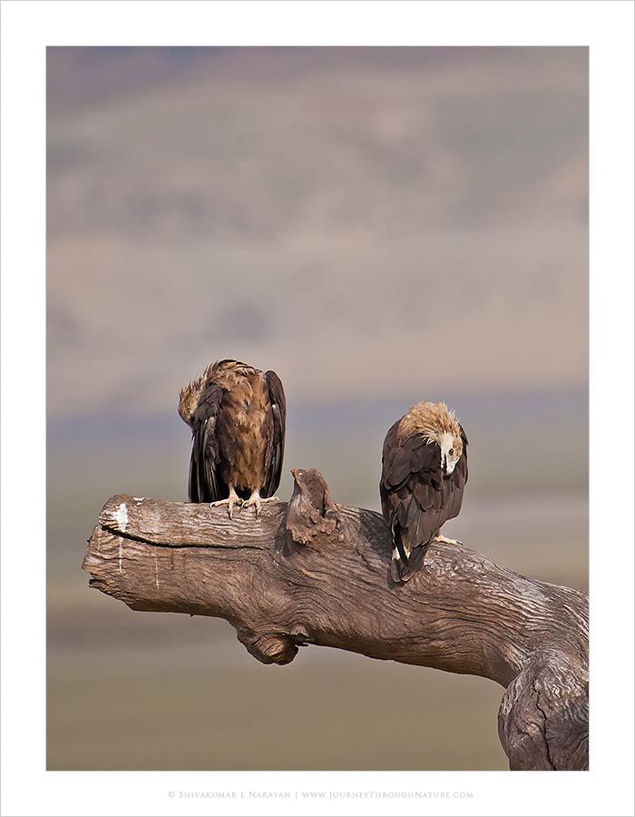 Preening Pallas Fishing Eagle, Dhikala, Corbet