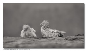 Difference_Of_Opinion-EgyptianVultures