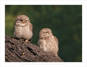 Difference_Of_Opinion-Spottedowlets