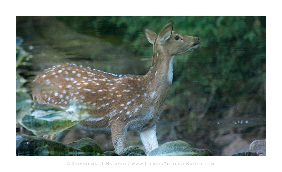 Reflection of spotted deer in water