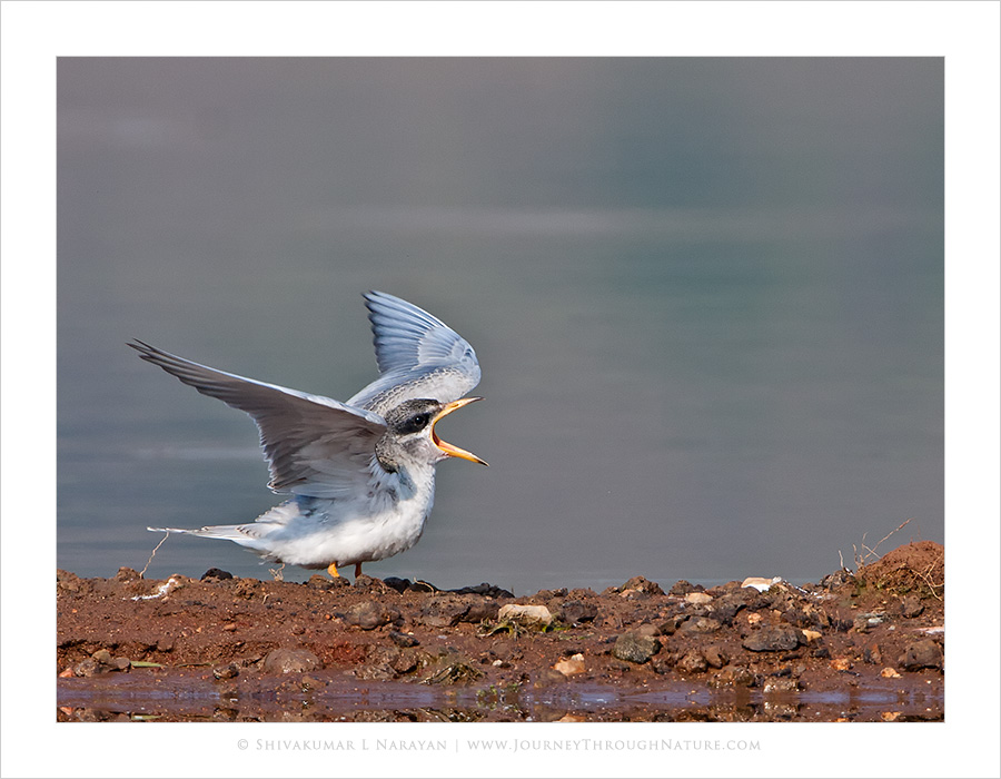 Crying baby river tern