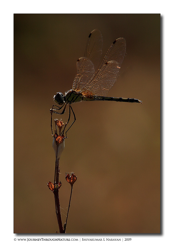 Dragonfly in early morning backlight
