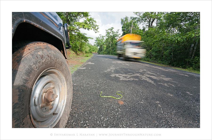 Green Vine Snake Road Kill