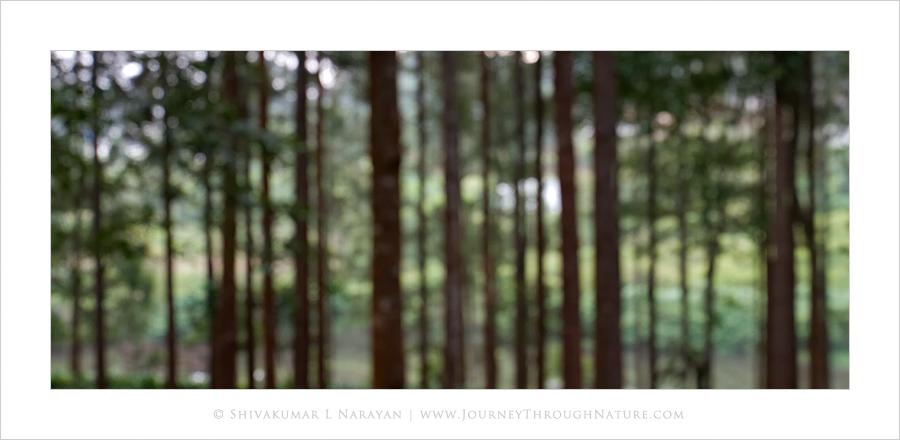 Silveroak Trees, Gorukana, BRHills, Karnataka