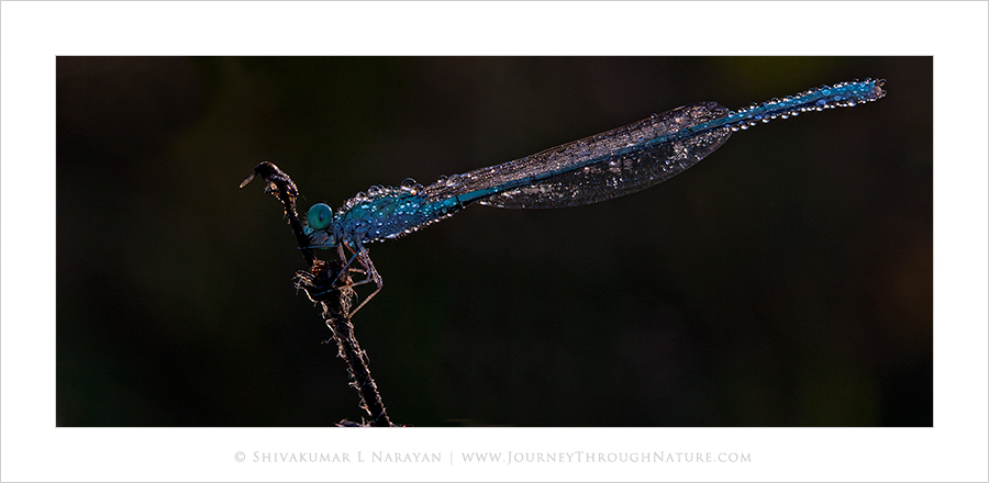 Damselfly with dew on winter morning