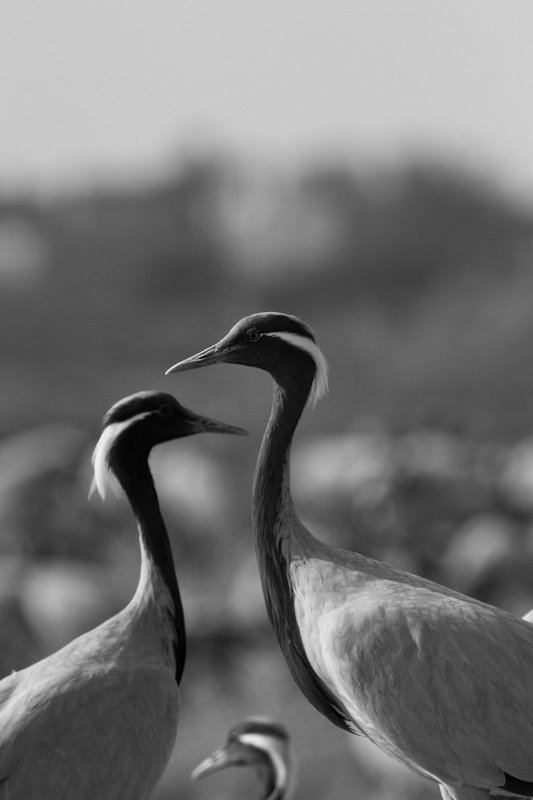 Demoiselle Cranes, Kichan, Rajasthan
