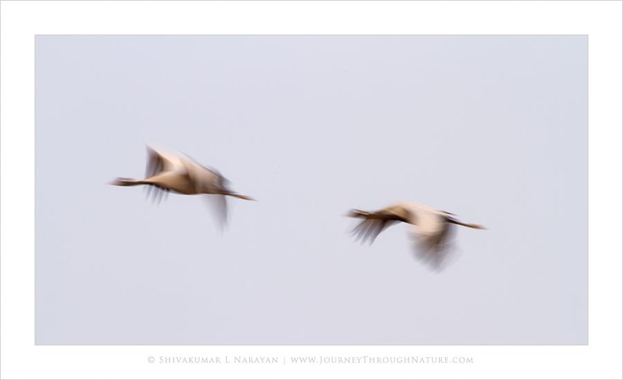 Demoiselle Cranes Flight, Kichan, Rajasthan