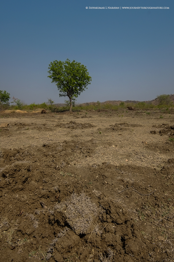Lone tree in a field near Bagepalli