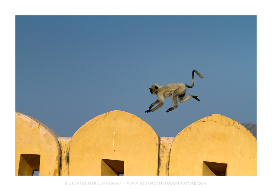 Monkey jumping on walls of Amer Fort Jaipur