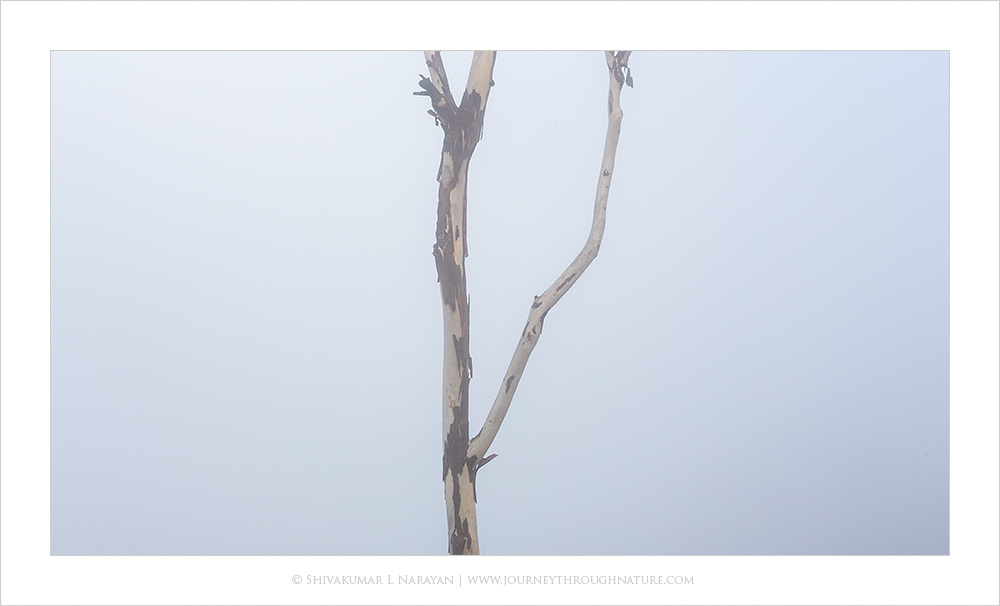 Tree branch in mist, Nandihills, Bangalore