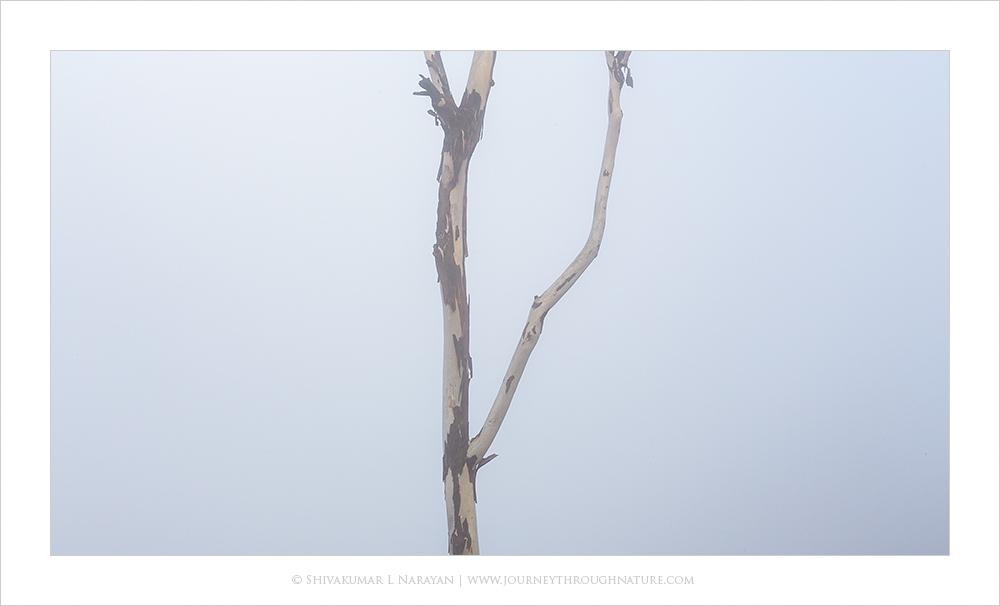 Tree branch in mist, Nandihills, Bangalore