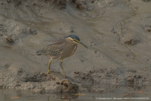 Black Capped Night Heron, Sundarbans