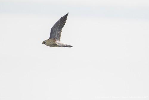 Flight of Peregrine falcon, Sundarbans