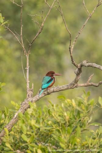 White Throated Kingfisher at Sundarbans